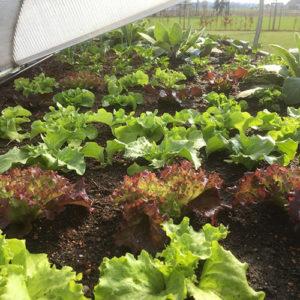 Salat mit Erde von Innkompost